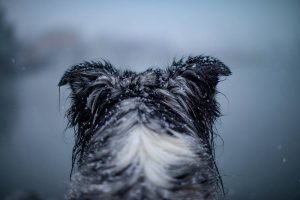 Image of dogs head in the falling snow overlooking the ocean, border collie. Stock Photography Free for Commercial Use.
