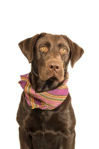 Brown dog with bandana on white background off leash. Stock Photography Free for Commercial Use.