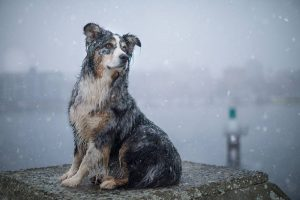 Image of dog sitting in the snow overlooking the ocean. Stock Photography Free for Commercial Use.